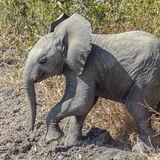 African Elephant (9)