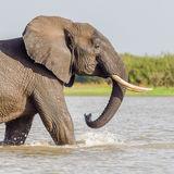 African Elephant (12)