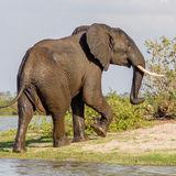 African Elephant (13)