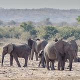 African Elephant (14)