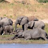 African Elephant (15)