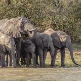 African Elephant (16)