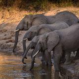African Elephant (17)