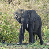African Elephant (18)