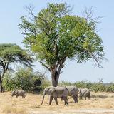African Elephant (20)