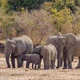 African Elephant (21)