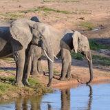 African Elephant (22)