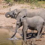 African Elephant (23)
