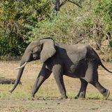 African Elephant (24)