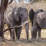 African Elephant (25)