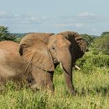 African Elephant (26)