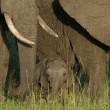African Elephant (27)