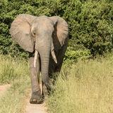 African Elephant (28)
