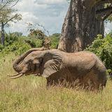 African Elephant (29)