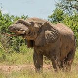 African Elephant (30)