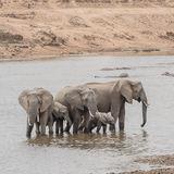 African Elephant (33)