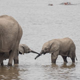 African Elephant (34)