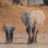 African Elephant (35)