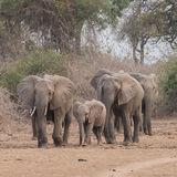 African Elephant (36)