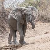 African Elephant (37)