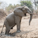 African Elephant (38)