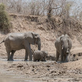 African Elephant (39)
