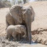 African Elephant (40)