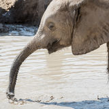 African Elephant (41)