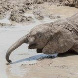 African Elephant (42)
