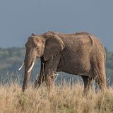 African Elephant (43)