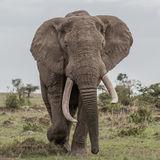 African Elephant (44)