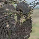 African Elephant (47)