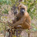 Guinea Baboon (4)