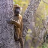 Guinea Baboon (5)