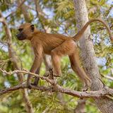Guinea Baboon (7)
