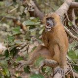 Guinea Baboon (9)