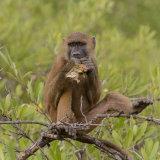 Guinea Baboon (10)