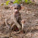 Guinea Baboon (15)