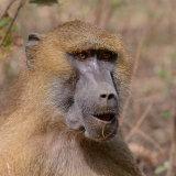 Guinea Baboon (16)