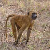 Guinea Baboon (18)