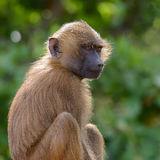Guinea Baboon (19)