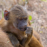 Guinea Baboon (20)