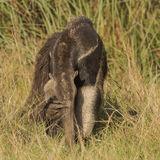 Giant Anteater (6)