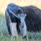 Giant Anteater (10)