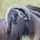 Giant Anteater (13)