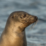 Galapagos Sea Lion (1)