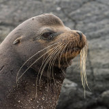 Galapagos Sea Lion (2)