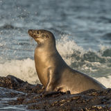 Galapagos Sea Lion (4)