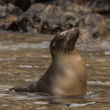 Galapagos Sea Lion (7)
