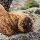 Galapagos Sea Lion (11)